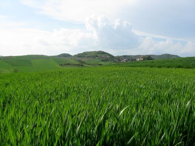 Verdi prati coltivati - particolare