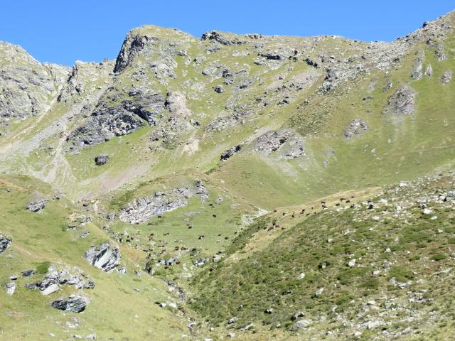Alpe Chevalley, particolare su mucche al pascolo: che minuscoli puntini!
