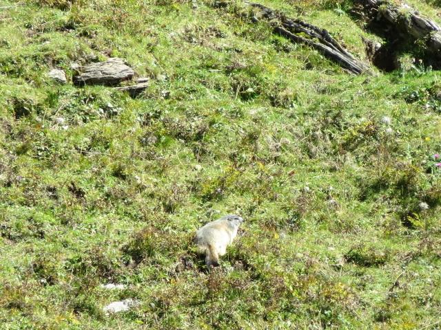 Alpe Chevalley, marmotta