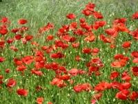 Anello Parco del Serio - fioritura di papaveri