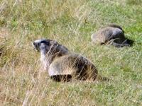 Marmotte presenti numerose nel Piano di Orvieille
