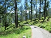 La bella salita all'Alpe Predasca nel pregiato bosco di larici della Val di Campo