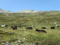 Animali al pascolo scendendo lungo il sentiero in direzione di Unnerbrunnji